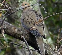 Mourning Dove--Zenaida macroura (Polioptila caerulea) Tags: dove mourningdove zenaidamacroura zenaida woolmanschool nevadacounty california modo