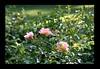 Duke Gardens July 2015 9.36.20 PM (LaPajamas) Tags: nc flora dukegardens gardens