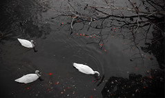 Swans (Faron Dillon) Tags: swans water shadow branch canon 5ds 24105l white red bw black nature leaves fall autumn oshawa ontario