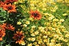 Summer Flowers (susanmbarlow) Tags: photograph delaware plant flower asterales coreopsis rudbeckia nature plantae
