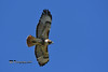 Red-tailed Hawk DSC_3345 (Ron Kube Photography) Tags: bird birds hawk hawks nature fauna ornithology raptor birdofprey redtailed redtailedhawk alberta canada southernalberta nikon nikond500 d500 ronaldok globalbirdtrekkers buteojamaicensis ronkubephotography
