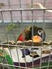 IMG_6088 (michelleoiseau) Tags: aquariumofthepacific longbeach lorikeets