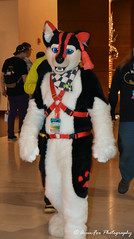 DSC_3129 (Acrufox) Tags: midwest furfest 2017 furry convention december hyatt regency ohare rosemont chicago illinois acrufox fursuit fursuiting mff2017