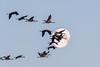 Les grues ne sont pas toujours dans la lune (A Crokaert प्रकृति र परिद) Tags: arjuzanx grues lune levédesoleil