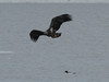 IMG_3185crop (neatnessdotcom) Tags: bald eagles hudson river bay winter birds prey peekskill ny westchester new york canon ef 100400mm f4556l is usm telephoto zoom lens eos rebel t2i 550d