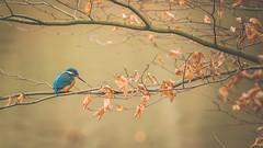 Finally got him (michel1276) Tags: eisvogel kingfisher vogel bird birds nature wildlife
