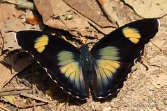 IMG_6046 Euphaedra janetta ♀ (Raiwen) Tags: nymphalidae limenitidinae adoliadini euphaedra insect butterfly africa westafrica guinea guinéeforestière lowlandrainforest euphaedrajanetta