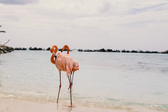 Flamingo at Renaisance Island (FOXTROT|ROMEO) Tags: aruba renaissanceisland renaisance island flamingo flamingos travel caribbean karibik animal private hotel ocean water beach pink eos70d