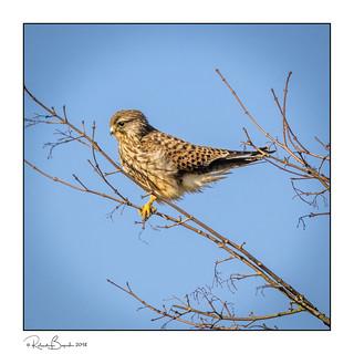 Watching and waiting - Kestrel (Falco tinnunculus)