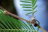 Mictis profana on Acacia sp. (Dingilingi) Tags: westgatepark urbannature biodiversity cityofmelbourne victoria australia