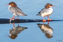 Opposite Mergansers (MelRoseJ) Tags: sanrafael california unitedstates us nature northerncalifornia a77ii alpha autofocus sony sonyilca77m2 sal70200g birds bayarea commonmerganser