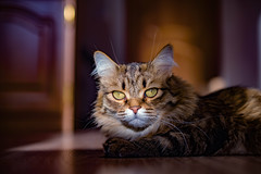 (SoulKpecT) Tags: canonfd135mm sonya7mii canon eyestiger eyes animals animal cats shadow cat кот