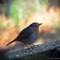 colourful robin (Rourkeor) Tags: ayrshire scotland unitedkingdom gb bird robin seeds meal colourful dof olympus omd em1mk2 12100mmpro