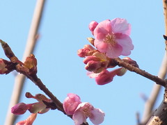 河津桜 (nofrills) Tags: spring season flora floral nature bud buds tree trees 桜 河津桜 cherry