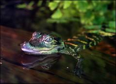 Baby Alligator (jo92photos) Tags: alligator alligatormississippiensis reptile mississippi