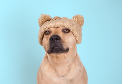 portrait of funny cute American Staffordshire bull terrier with knitted hat and pompoms (monicaclick) Tags: adorable animal background beige blond blue canine cap cheeky cold comical cute december dog droll ears expression face february funny goofy hat humorous january knitted lovely pet pompoms portrait pretty staffordshire terrier winter