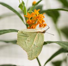 Butterfly (LuckyMeyer) Tags: flower fleur butterfly schmetterling insect green orange yellow makro