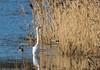 0T4A0415 (2) (Alinbidford) Tags: alancurtis alinbidford brandonmarsh greatwhiteegret wildbirds