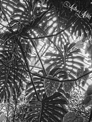 Feuilles (Audrey Abbès Photography ॐ) Tags: architecture arbre jardin paris france plantes arbres serre verrière audreyabbès iledefrance jardindesplantes noiretblanc ombre lumière feuilles