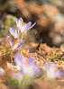 Early spring (mclcbooks) Tags: flower flowers floral macro closeup crocus crocuses spring bulbs denverbotanicgardens colorado