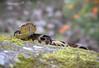 Pit viper/ Víbora (Bothrops asper) (Jacobo Quero) Tags: bothropsasper viper víbora snake serpiente reptil herping venomanimal veneno mindo ecuador cloudforest nature naturaleza wildlife animal