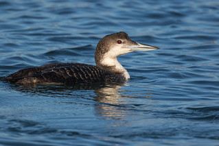 Common Loon 7D671077