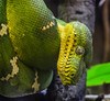 Emerald Tree Boa: zipper mouth (Flight of life) Tags: emerald boa tree amazon snake national aqaurium zoo snakes green