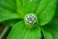 Missing Summer (thatSandygirl) Tags: green plants flower bud texture macro leaves lines foliage leaf