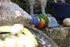 Hot and thirsty (markmortonsmith) Tags: birds rainbowlorikeet hotsummer thirsty backyards water helpingnature