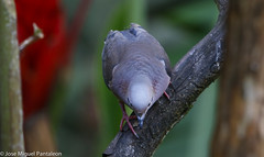 9- Es increible como las hormonas de cortejo  y el Breeding plumaje llega a encender los colores tornasoles de cortejo en esta especie que en tiempo no reproductivo se queda en el monocromático! (Cimarrón Mayor 12,000.000. VISITAS GRACIAS) Tags: ordencolumbiformes familiacolumbidae nombrecientíficozenaidaauriculatacaucae macho zenaidatorcaza tórtolatorcaza tórtolaorejuda palomitamontera protónimozenaidaauriculatacaucae ningleseareddove male lugardecapturafincaalejandríakm18 cali colombia ave vogel bird oiseau paxaro fugl pássaro птица fågel uccello pták vták txori lintu aderyn éan madár cimarrónmayor panta pantaleón josémiguelpantaleón objetivo500mm telefoto700mm 7dmarkii canoneos canoneos7dmarkii naturaleza libertad libertee libre free fauna dominicano pájaro montañas
