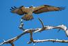 Osprey Takeoff (dbadair) Tags: outdoor seaside shore sea sky water nature wildlife 7dm2 ocean canon florida bird bif flight