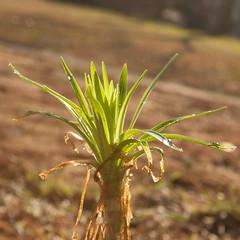 Mini Palmtree by Barry Pierce (blavon2290) Tags: plant flower tree palmtree cute green rebelxti eos400d