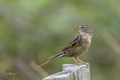 Wedge-tailed Grass-Finch (fernaabs) Tags: wedgetailed grassfinch emberizoides herbicola chicharrón sabanerocoludo passeriformes emberizidae aves fernaabs burgalin avesdecostarica