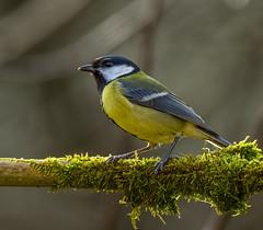 Great tit (Bojan Žavcer) Tags: tit greattit bird animal wildlife nature canoneos7dmarkii ef600mmf4lisusm