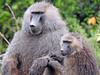 Baboon female and male (David Bygott) Tags: africa tanzania natgeoexpeditions 171230 lake manyara lmnp baboon social behavior groom