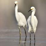 snowy egrets thumbnail