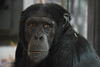 Wakili @ Artis 27-03-2017 (Maxime de Boer) Tags: wakili chimpansee chimpanzee chimp ape monkey aap natura artis magistra zoo amsterdam animals dieren dierentuin gods creation schepping creator schepper genesis