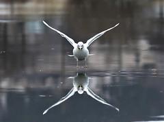 Quidi Vidi Reflection (kearneyjoe) Tags: quidividilake