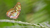 The Beautiful One (Wim Boon (wimzilver)) Tags: wimboon butterfly canon100mmf28lismacro canoneos5dmarkiii macro macrofotografie vlindermacro blijdorp
