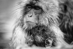 Meditation (moaan) Tags: yamanouchi hyogo japan jp monkey snowmonkey motherandchild togetherness bathingmonkey onsen hotsprings jigokudani jigokudanispa jigokudanisnowmonkeypark bw monochrome bwphotography canoneos5dmarkiii zeissmakroplanart2100ze 10mm f20 utata makroplanart2100