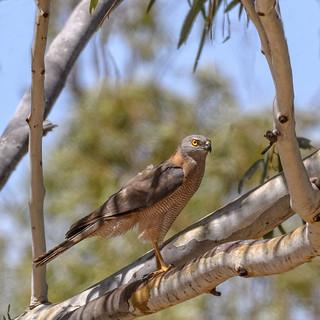 in the shadows - collard sparrowhawk