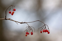 whispers of red (Sabinche) Tags: winter berry canoneos7dmarkii sabinche