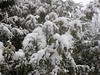 Piling it on thick (ladybugdiscovery) Tags: snow cedars covered cold winter hedge