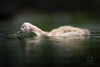 Reflections (LawrieBrailey) Tags: cygnet young baby swan mute bird water wildlife animal wild photo photography nikon d4 nikkor 300mm f28 vr version one reflection low angle wwwlawriebraileycouk lawrie brailey