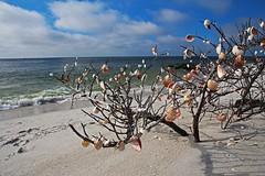 Sacred Whispers (Michiale Schneider) Tags: seashells driftwood gulfofmexico nature landscape gasparillaisland beach bocagrande florida michialeschneiderphotography sky