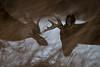 Encounter (jmishefske) Tags: 2018 buck nature d500 center february milwaukee franklin antler wildlife sparring brawl rack wisconsin fighting wehr park whitetail nikon deer whitnall