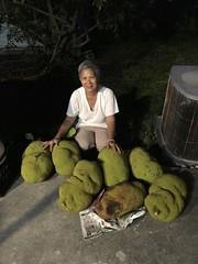 Harvested Jack Fruit in Miami (Adam J Skowronski) Tags: jackfruit miami cutlerbay florida artocarpusheterophyllus jacktree fenne jakfruit jack tree artocarpus heterophyllus