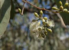 Eucalyptus crebra 140417-1829 (Tony Rodd) Tags: eucalyptuscrebra narrowleavedironbark ironbark myrtaceae eucalypts australia newsouthwales nsw