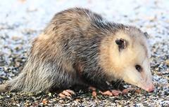Virginia opossum at Lake Meyer Park IA 854A1795 (lreis_naturalist) Tags: virginia opossum lake meyer park winneshiek county iowa larry reis