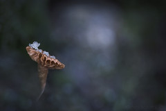 Winter Wonderland (SkyeWeasel) Tags: scotland skye macro closeup mushroom fungi fungus saprophyte deceiver laccarialaccata bokeh woodland winter ngc npc